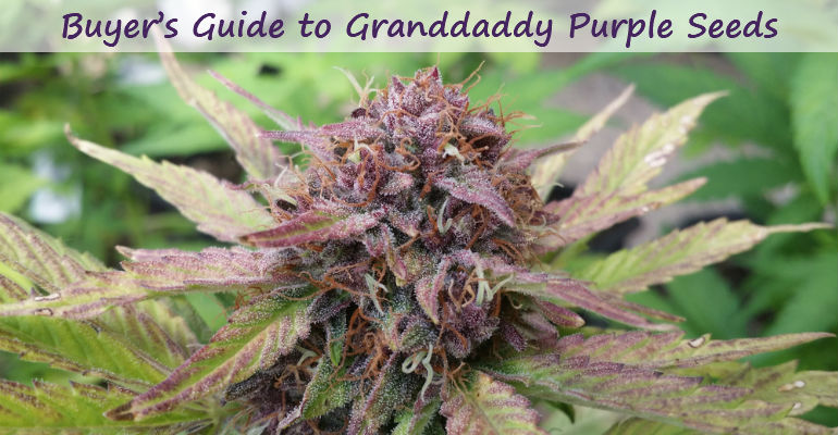 12 Sensational Things About Highly Effective Granddaddy Purple Seeds